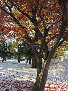 雪と紅葉の写真・画像素材[254034]