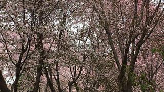桜の写真・画像素材[466345]