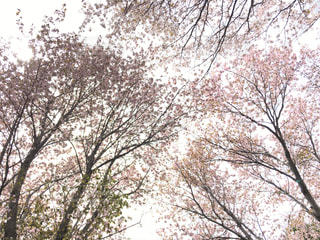 桜の写真・画像素材[466352]