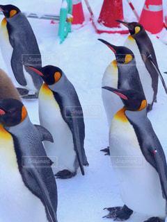 ペンギンのよちよち歩きの写真・画像素材[1733507]