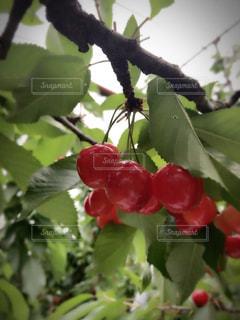 フルーツ,果物,さくらんぼ,さくらんぼ狩り