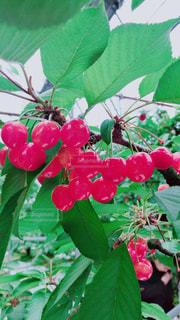 フルーツ,果物,さくらんぼ,真っ赤,さくらんぼ狩り,フレッシュ