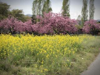 春,黄色,菜の花