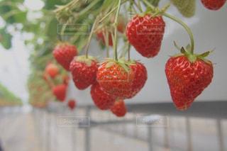 いちご,フルーツ,果物,果実,ベリー,いちご狩り,赤色,フレッシュ,イチゴ