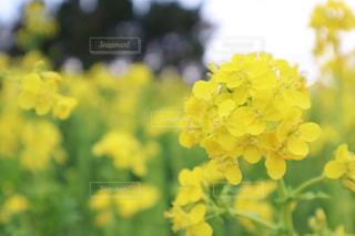 自然,黄色,菜の花,yellow