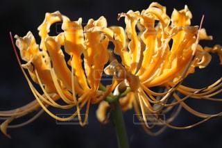 自然,花,黄色,ヒガンバナ,yellow