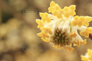 花,黄色,ふんわり,草木,きらきら,みつまた,レジャー・趣味