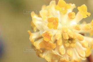 花,黄色,樹木,ふんわり,草木,きらきら,みつまた