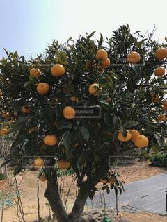 空,木,土,みかん,新鮮,柑橘
