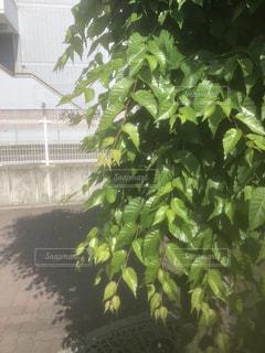 街路樹の写真・画像素材[2113909]