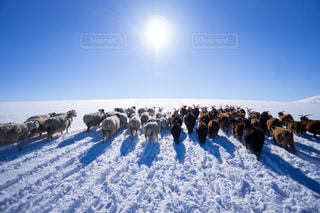 雪の上を歩く羊の群れにフィールドが覆われています。の写真・画像素材[1735042]