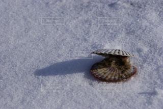 雪の上のホタテの写真・画像素材[1741486]