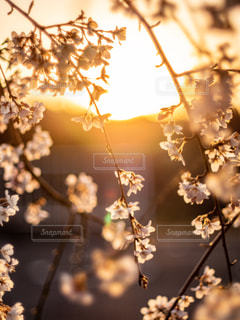 空,桜,太陽,光
