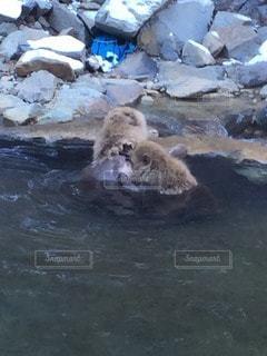 水中を泳ぐヒグマ - No.6