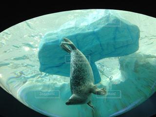 泳ぐゴマあざらしの写真・画像素材[1753501]