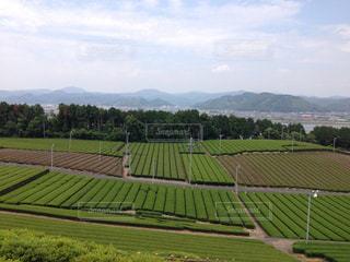 茶畑の写真・画像素材[1761907]