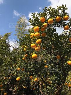 柑橘類の写真・画像素材[1805877]