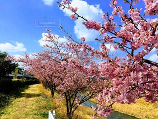 桜の木の写真・画像素材[1822695]