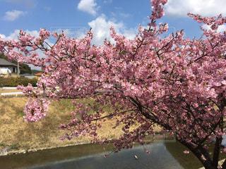 満開の桜の写真・画像素材[1822762]