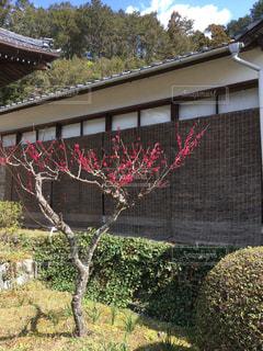 梅の木の写真・画像素材[1822878]