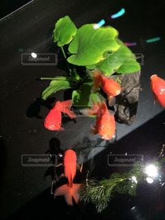 金魚の写真・画像素材[1847508]