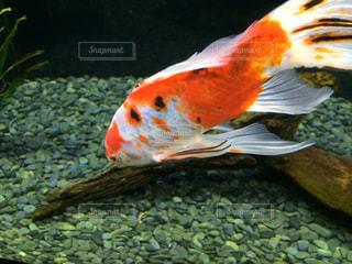金魚の写真・画像素材[1847510]