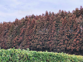 杉並木の写真・画像素材[1830651]