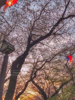 飛鳥山公園、桜祭りの写真・画像素材[1874512]
