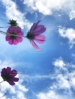 コスモスと空の写真・画像素材[2633671]