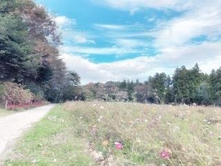 秋桜の写真・画像素材[2633674]
