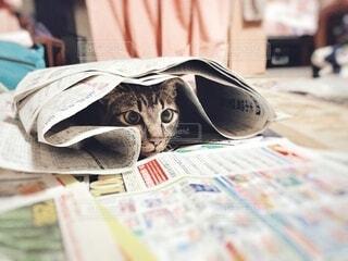 新聞に隠れて猫じゃらしを狙っている猫の写真・画像素材[4160277]