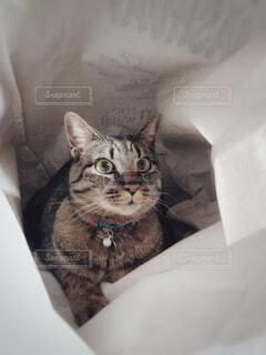 ランドリーバックの中に入る猫の写真・画像素材[4334711]