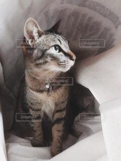 ランドリーバックに入る猫の写真・画像素材[4334712]