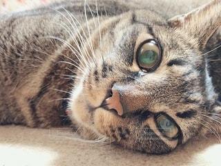 リビングに寝転ぶ猫のアップの写真・画像素材[4803307]