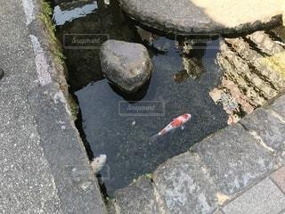 水路を泳ぐ鯉の写真・画像素材[1739374]