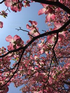 木の枝にピンク色の花の写真・画像素材[1742629]