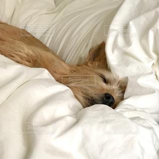 眠っている犬の写真・画像素材[1740786]