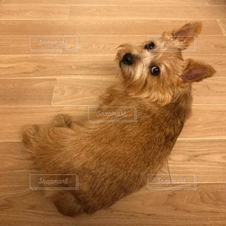 カメラ目線の犬の写真・画像素材[1740804]