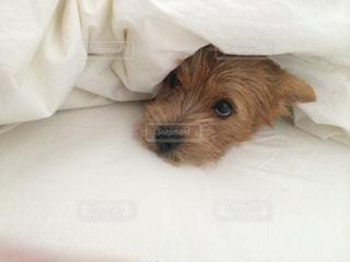 ベッドの中の犬の写真・画像素材[1740824]