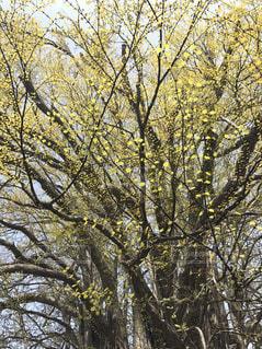 森の大きな木の写真・画像素材[1740303]