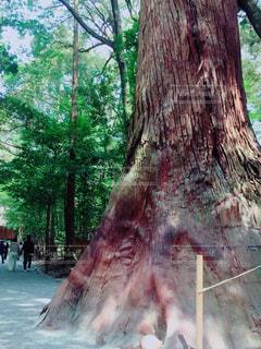 伊勢神宮に生えてる木の写真・画像素材[2063080]