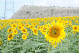 観光農園花ひろばのひまわり畑の写真・画像素材[1746907]