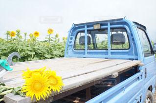 観光農園花ひろばのひまわり畑(トラック)の写真・画像素材[1749008]