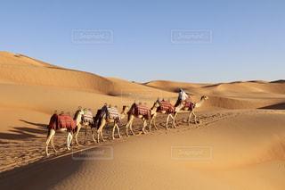 アブダビ砂漠のラクダの写真・画像素材[1745935]