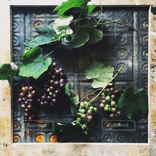 葉つきのぶどうの写真・画像素材[2363774]