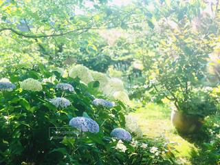 紫陽花の咲く庭の写真・画像素材[2244992]
