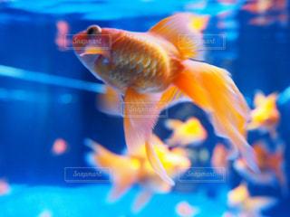 ぼやけ金魚の写真・画像素材[2282205]