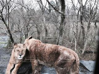 森に横たわるライオンの写真・画像素材[1747000]