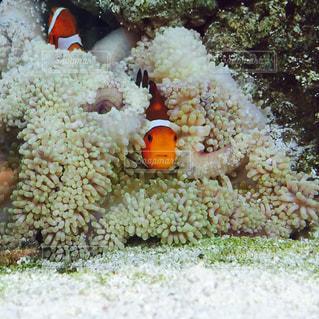 カクレクマノミの写真・画像素材[1747051]
