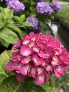 紫陽花の写真・画像素材[1208940]
